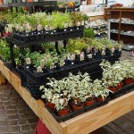 Fairy Garden Plants for Sale